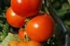 ab_tomaten_bettinablass_fotolia